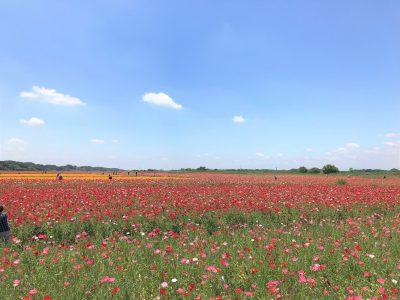 今が満開!日本一のポピー畑 | しかま るみこ